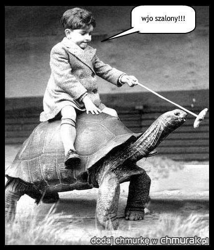 żółw wio szalony