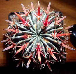 kaktus Ewa